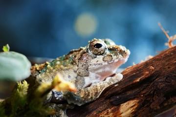Serrate-legged small treefrog Kurixalus odontotarsus