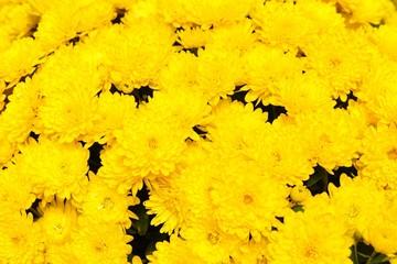 Background of yellow chrysanthemum flowers
