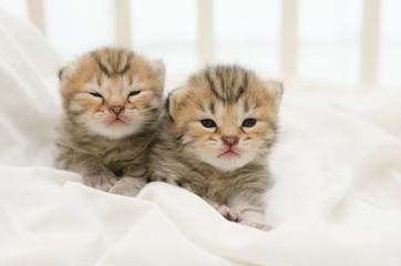Two newborn kitten of American Shorthair