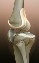bone, human knee