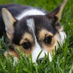 Cute corgie pup in grass