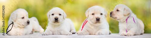 Papiers peints Chien four labrador puppies
