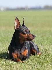 Portrait of purebred Miniature Pinscher Dog