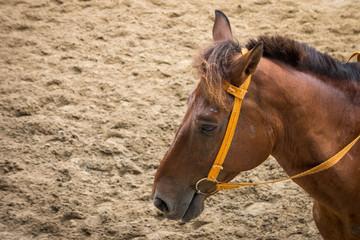 Closeup shot of head of brown horse