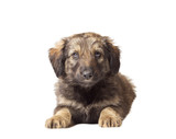 mutts puppy on a white background isolated poster
