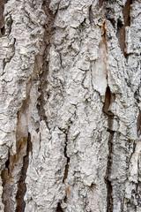 The bark of an aspen