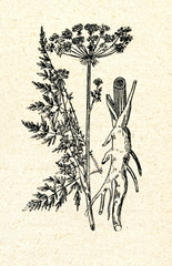 Milk Parsley (Peucedanum palustre)