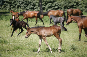 Herd of foals  and mares grazing in the pasture