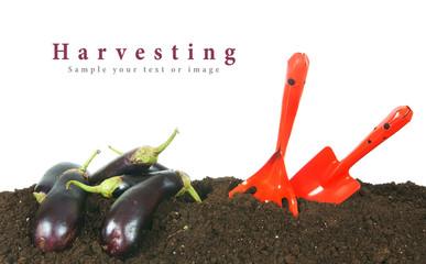 Harvesting. Eggplants and garden tool on earth.