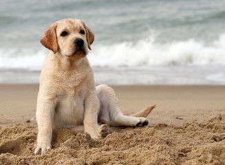 labrador puppy at the sea portrait close