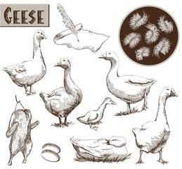 breeding geese