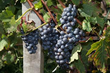 raisin vin