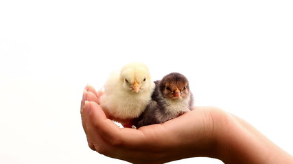 Two little chicks in womans hand, black and white concept