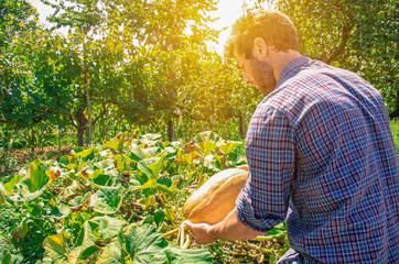 farmer collect pumpkin from ground