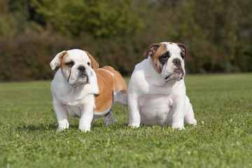 Two bulldog puppy