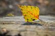 canvas print picture - Birkenblatt auf Baumstumpf im Herbst