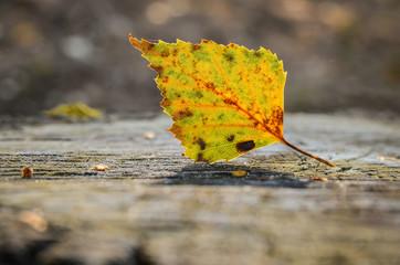 Birkenblatt auf Baumstumpf im Herbst