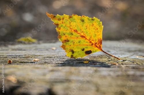 canvas print picture Birkenblatt auf Baumstumpf im Herbst