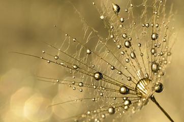 Wassertropfen golden an Bocksbart Samen