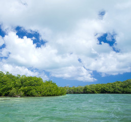 mangrove trees in sea