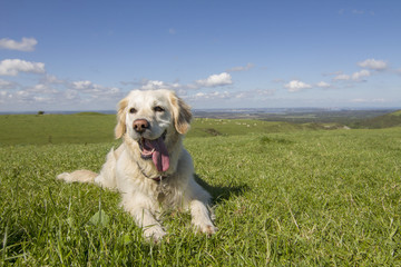 Retriever dog enjoying the sunshine