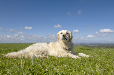 Golden retriever dog in a field on sunny day