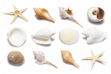Conch Shell Collection