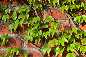 Wild grapes on the ancient wall