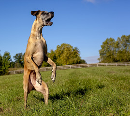 Great Dane on hind legs, standing erect