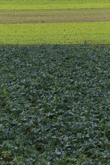 lettuce and cabbage plantation