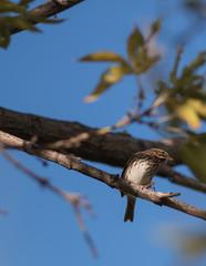 Baird's Sparrow 1
