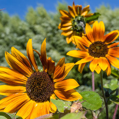 Orange sunflowers blooms with leaves