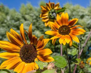 Orange sunflowers blooms in the garden