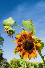 Orange sunflower with blue sky