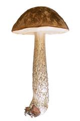 Leccinum scabrum mushroom on white background