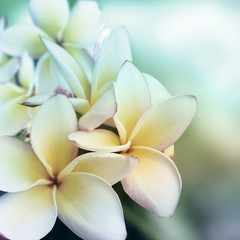 Plumeri flower background