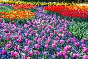 Field of pink hyacinths and red tulips