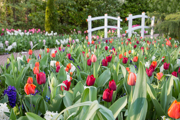Various colored tulips with white bridge