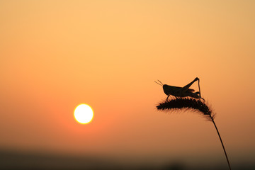 Grasshoppers and foxtail
