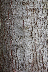 Tree Bark Over. Crust Of The forest tree