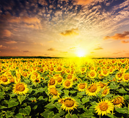 Sunflower field on susnet