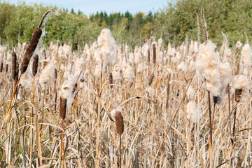 Cattail Spikes with Fluff