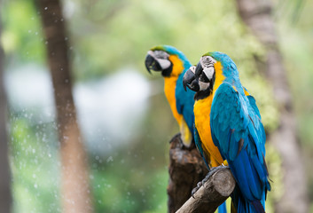 blue macaw parrot stand on branch