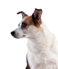 Surprise dog on white background, isolated.