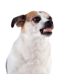 Angry dog on white background, isolated.
