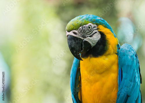 Poster Papegaai close up of blue macaw parrot