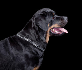 Rottweiler head on black background