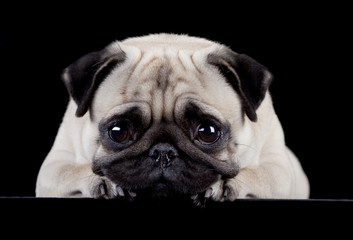 Pug on black background