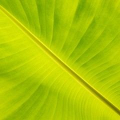 Banana Leaf Abstract