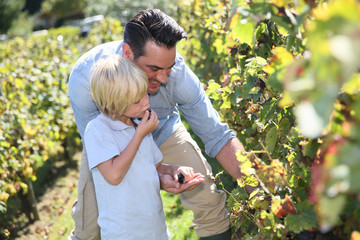 Father and child tasting grapes in grapevine rows